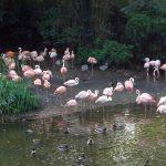 Flamingos und Enten (Erlebniszoo Hannover)