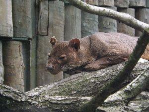 Fossa (Zoo Olomouc)