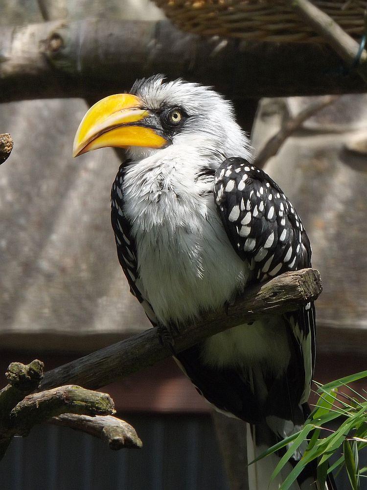 Östlicher Gelbschnabeltoko (Vogelpark Niendorf)