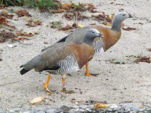 Graukopfgans (Weltvogelpark Walsrode)