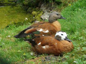 Graukopfkasarka (Weltvogelpark Walsrode)