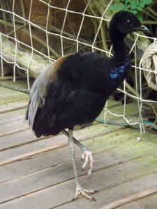Grauflügel-Trompetervogel (Pairi Daiza)