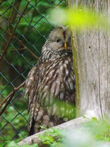 Habichtskauz (Tierfreigehege des Bayerischen Walds)
