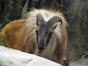 Himalaya-Tahr (Tierpark Hagenbeck)