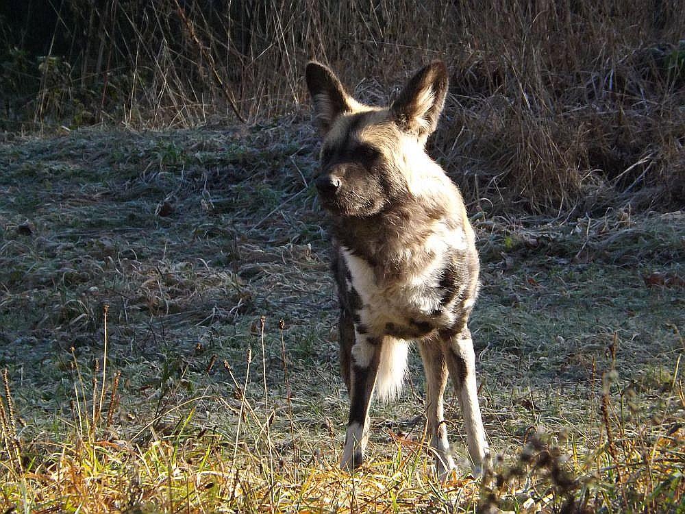 Afrikanischer Wildhund (Tierpark Hellabrunn)