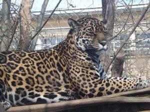 Jaguar (Bergzoo Halle)