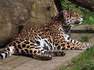 Jaguar (Zoo Olomouc)