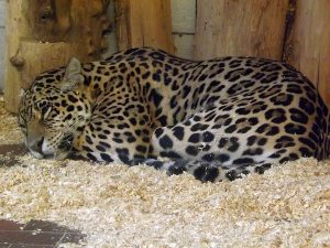 Jaguar (Zoo Saarbrücken)