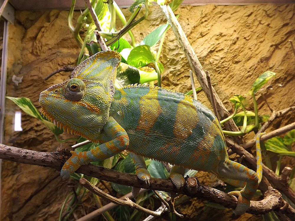 Jemen-Chamäleon (Thüringer Zoopark)