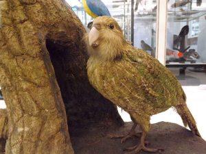 Kakapo (Senckenbergmuseum Frankfurt)