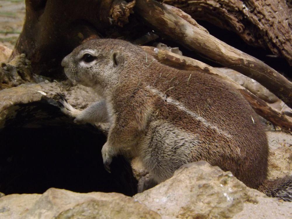 Kap-Borstenhörnchen (Zoo Frankfurt)