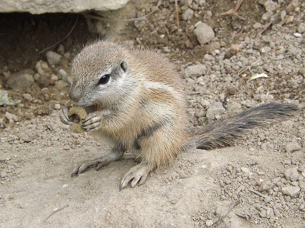 Kap-Borstenhörnchen (Zoo Dvur Kralove nad Labem)