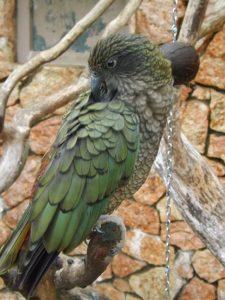 Kea (Weltvogelpark Walsrode)