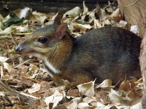 Kleinkantschil (Ouwehands Zoo)