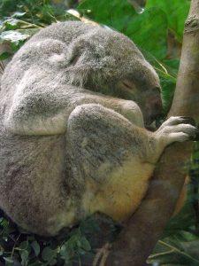 Koala (Zoo Antwerpen)