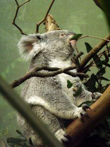 Koala (Zoo Planckendael)