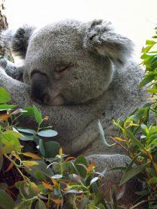 Koala (Tiergarten Schönbrunn)