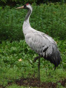 Kranich (Weltvogelpark Walsrode)