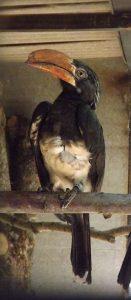 Kronentoko (Vogelpark Irgenöd)