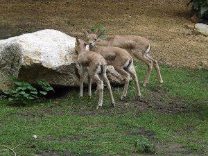 Persische Kropfgazelle (Tier- und Naturschutzpark Görlitz)