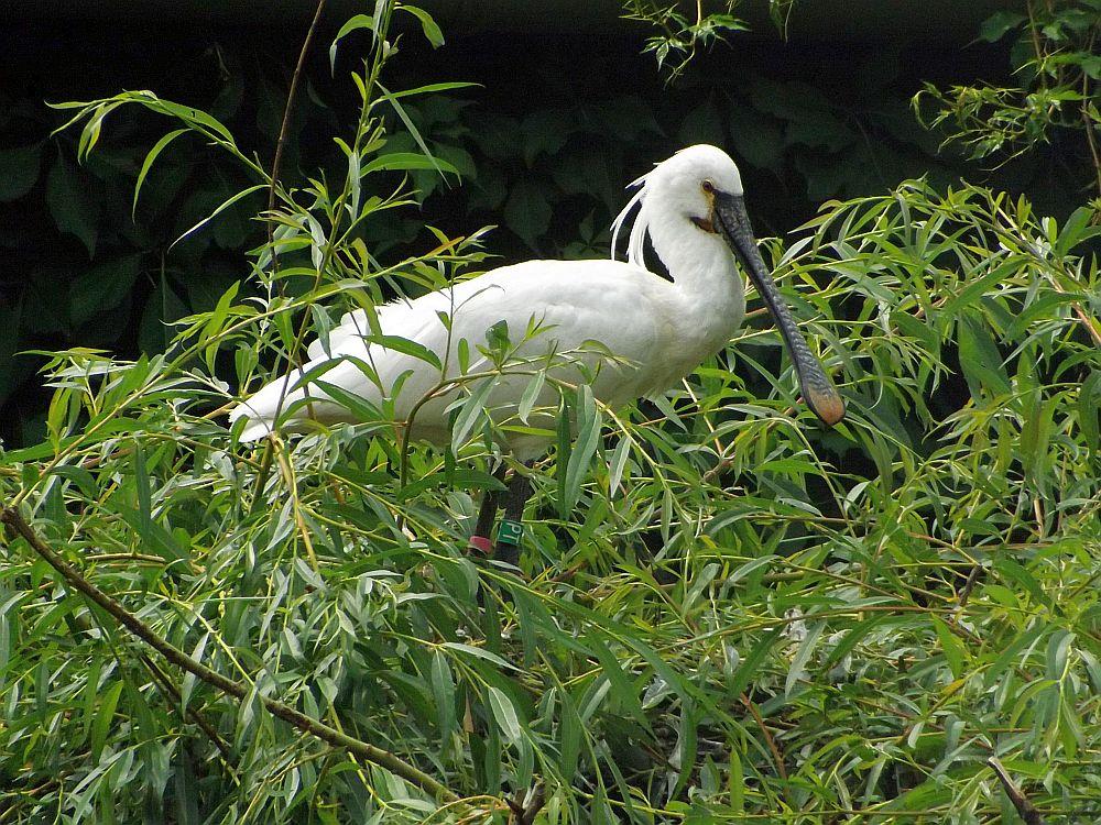 Löffler (Zoo Prag)