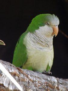 Mönchssittich (Zoo Hodonin)