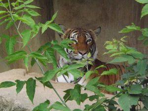 Malaiischer Tiger (Bergzoo Halle)