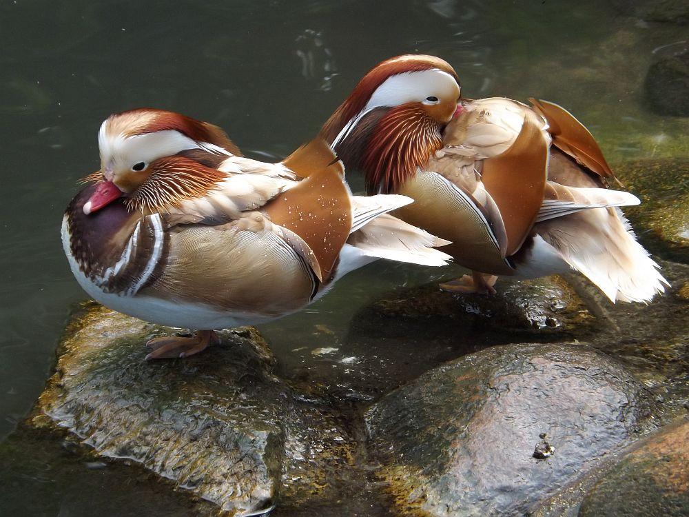 Mandarinente, Farbform (Tierpark Köthen)