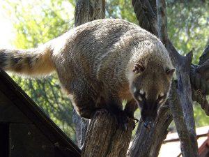 Südamerikanischer Nasenbär (Tierpark Bad Kösen)