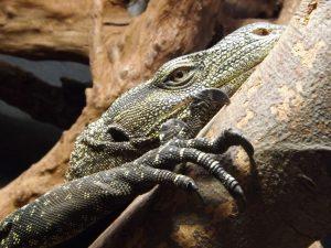 Papuawaran (Zoo Köln)