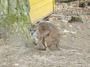 Parmakänguru (Vogelpark Abensberg)