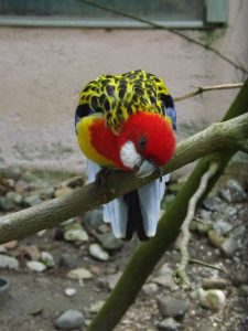 Prachtrosella (Vogelpark Abensberg)