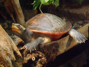 Rotbauch-Spitzkopfschildkröte (Reptilienzoo Neu-Ulm)