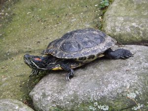 Rotwangen-Schmuckschildkröte (Tierpark Altenfelden)