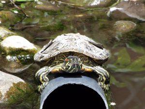 Rotwangen-Schmuckschildkröte (Raritätenzoo Ebbs)