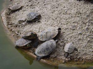 Rotwangen-Schmuckschildkröte (Zoo Salzburg)