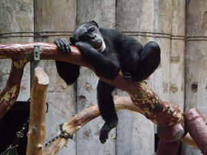 Schimpanse (Zoo Krefeld)