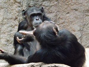Schimpanse (Zoo Leipzig)