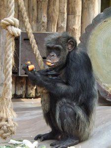 Schimpanse (Zoo Magdeburg)