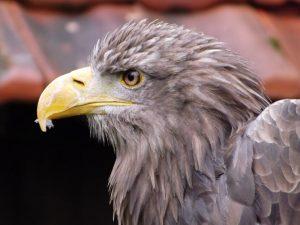 Seeadler (Tierpark Sababurg)