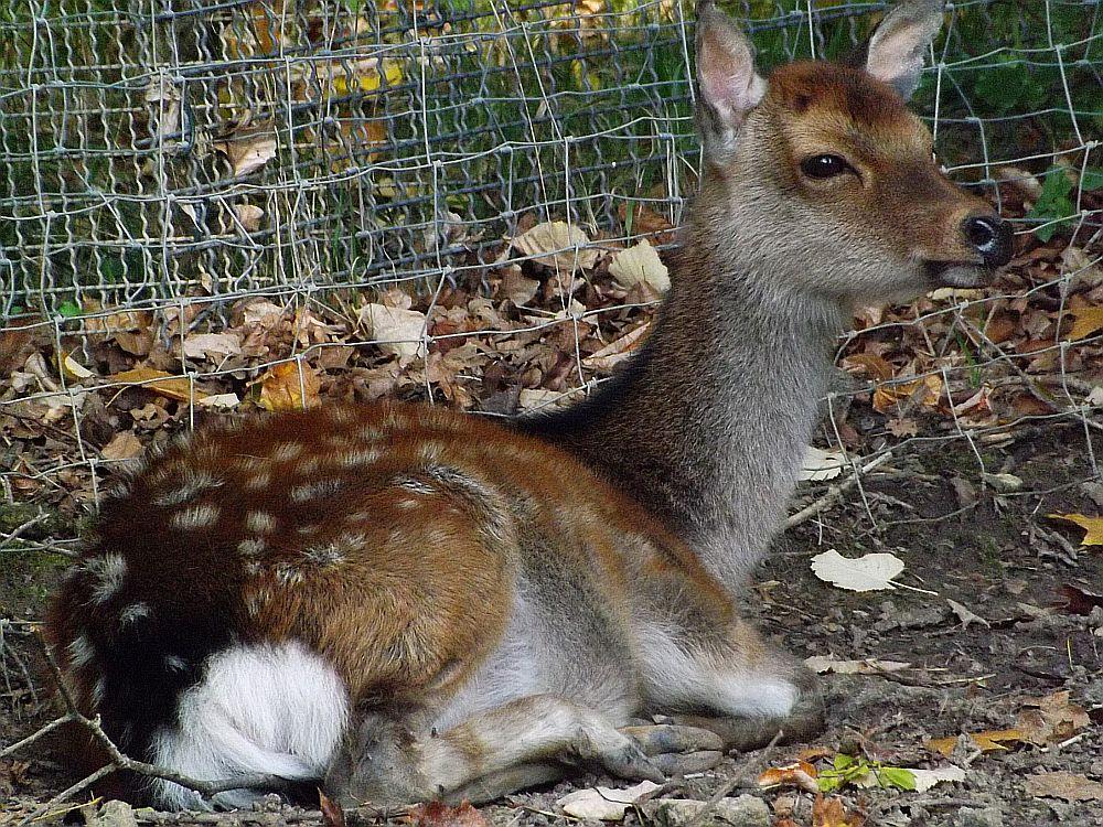 Sikahirsch (Tierpark Bad Liebenstein)