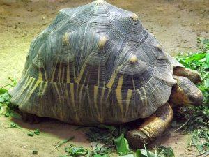 Strahlenschildkröte (Aquarium Berlin)