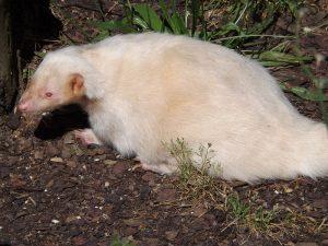 Streifenskunk, Albino (Tierpark Göppingen)