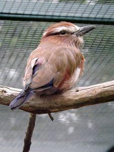 Strichelracke (Zoo Berlin)