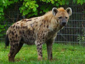 Tüpfelhyäne (Thüringer Zoopark)