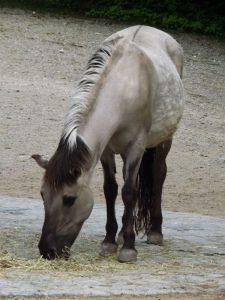 Heckpferd (Tierpark Hellabrunn)