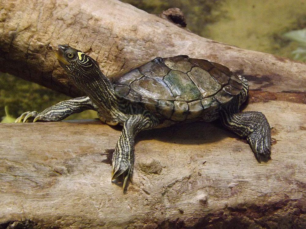 Falsche Landkarten-Höckerschildkröte (Zoo Landau)