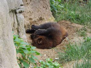 Vielfraß (Zoo Brno)