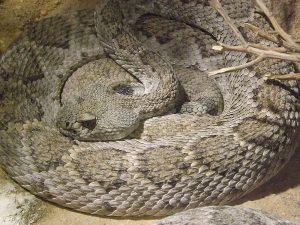 Texas-Klapperschlange (Exotarium Oberhof)