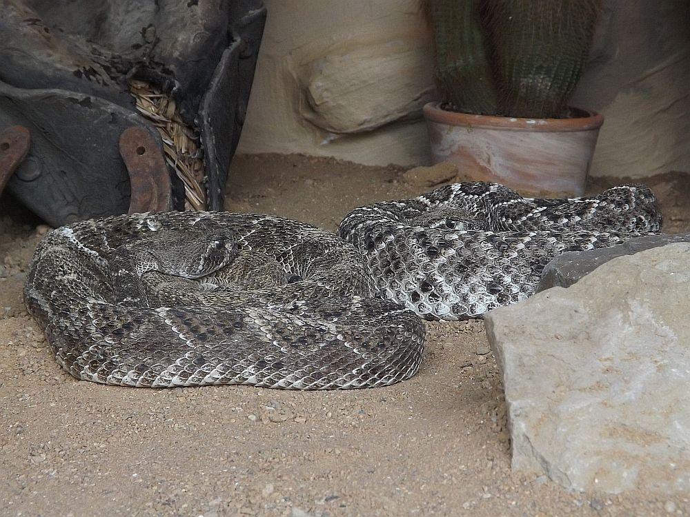 Texas-Klapperschlange (Schlangenfarm Schladen)
